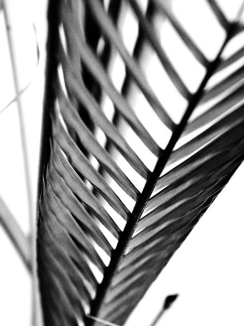 IMG_1610 Palm Leave  ,棕榈叶