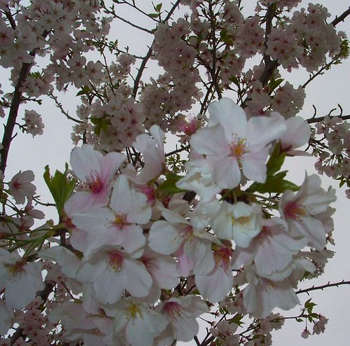 Apple Blossoms, March 27, 2011