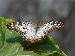 A time to rest (Solifree) Tags: nature butterfly natureza borboleta soe greatphotographers magicofnature specanimal diamondclassphotographer flickrdiamond photosandcalendar 100commentgroup panoramafotografico smallcreatureswilllovethisplace flickraward platinumpeaceaward naturesgreenpeace mothernaturesgreenearth mygearandme mygearandmepremium onlythebestofnature esenciadelanaturaleza ringexcellence amazingwildlifephotography bestofblinkwinners peregrino27macro blinksuperstars