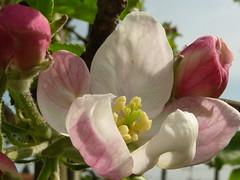 fiore di melo (solonanda non c'è più) Tags: pink flowers rosa natura fiori melo masterphotos applesflowers macromarvels mamasbloomers