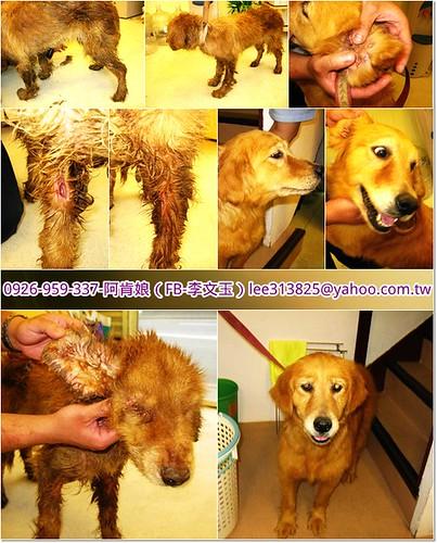 「支援助認養」桃園從淡水救援兩隻被遺棄的黃金獵犬姊妹,一隻超嚴重,懇請贊助醫療資源,也徵助認養喔~謝謝您!20110406