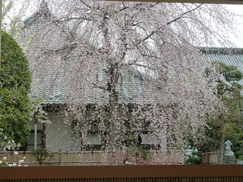 20110408長谷寺 桜-1