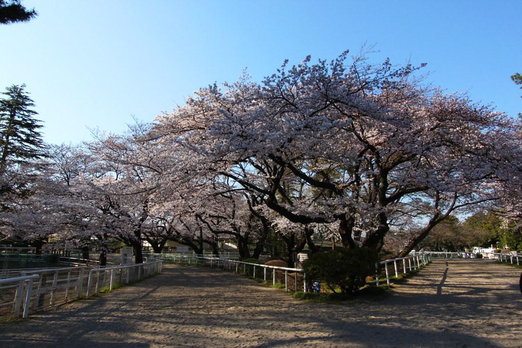 Sakura Photo 2011Bajikouen (12)