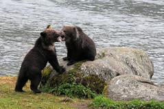 2010 Alaska Grizzly Bear Cub 42 (DrLensCap) Tags: bear lake robert animal alaska mammal cub site state ak inside recreation grizzly passage kramer chilkoot lutak mygearandme mygearandmepremium