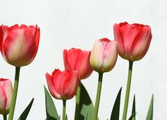 Tulips (Mukumbura) Tags: pink flowers red england sun white leaves sunshine wall garden petals spring perfect warm tulips garage somerset tulip stems lovely photogenic