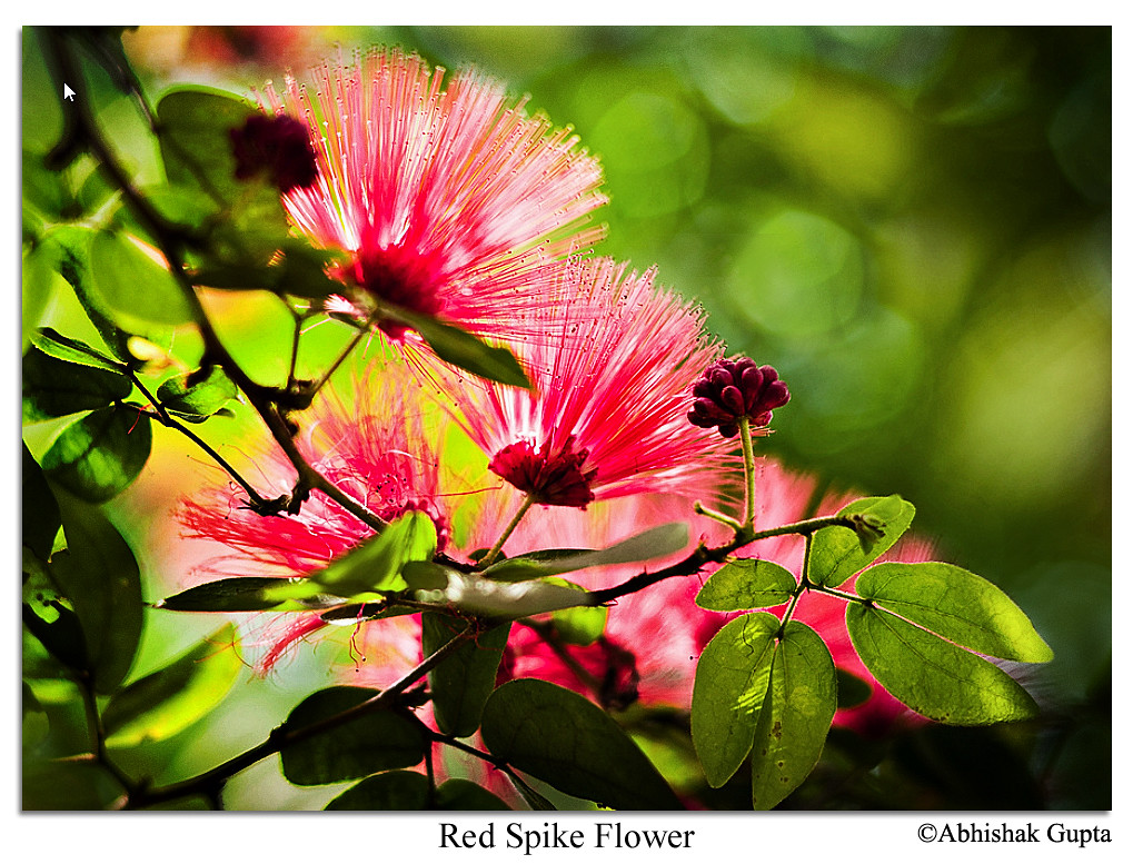 Red spike flower
