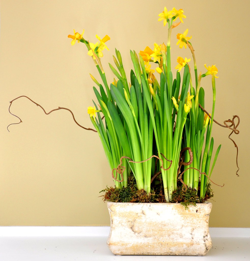 Mini daffodil bulbs and curly willow in distressed ceramic container