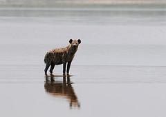 Hyena at Lake Ndutu