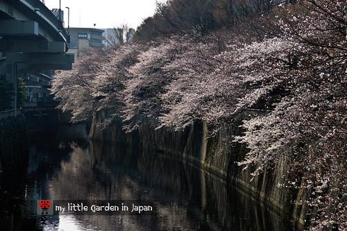 Sakura-in-Tokyo-7
