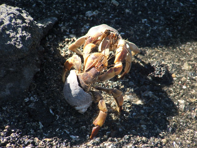 fighting hermit crabs
