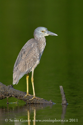 Black Crowned Night Heron Juvenile, Ding Darling Wildlife Refuge by Scott Grant
