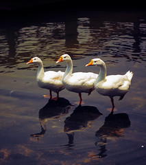 Say Geese! (VinothChandar) Tags: family india white lake reflection bird love nature water beauty birds animal animals standing swim canon river photography mirror stand geese photo duck pond pattern photographer natural photos wildlife indian leg group ducks romance goose resort same similar 5d mirrorimage darkwater float behavior chennai stroll animalplanet tamilnadu alike waterbirds pondicherry markii purity likeness oceanspray behaviour oneleg whitegoose whitegeese birdphoto pudhucherry manjakuppam goosephoto geesephoto