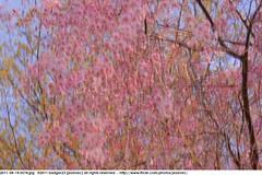 2011-04-14 0574 Sakura, Prunus serrulata, the weeping cherry tree blossoms (Badger 23 / jezevec) Tags: park pink flowers flower tree cherry spring blossom indianapolis blossoms indiana anh bloom  flowering sakura blooms holliday weeping hoa blooming prunus cerezo weepingcherry    kirschblte   jezevec cvijet serrulata shidarezakura prunusserrulata o krsbr   cseresznyevirg japanskt  hoaanho kirsuberjatr badger23 namumulaklak  trenjin    seresang trenjincvijet