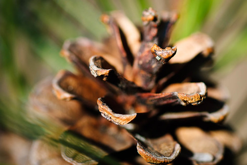 2011 04 14 Pine cone 001