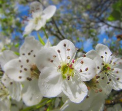 White Blossoms (Colorado Sands) Tags: flowers trees usa white flores nature floral fleur gardens america fleurs garden us spring colorado arboles unitedstates blossoms jardin denver american blossoming fiori amerika blommor botanicalgardens bume bloemen springtime giardino rvores frhling plumblossoms pokok denverbotanicalgardens denverbotanicgardens milehighcity denverbotanicalgarden sandraleidholdt cityandcountyofdenver leidholdt sandyleidholdt botanischengrten