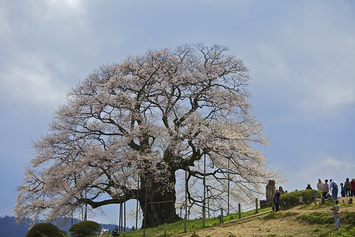 醍醐桜(Daigo Sakura)