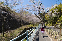 To the origin of cherry blossoms