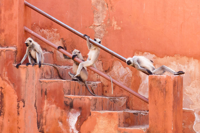 Lazing Monkeys at Jaigarh Fort