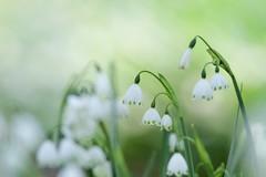 Summer Snowflake (Takashi(aes256)) Tags: flower 花 extensiontube summersnowflake 神代植物公園 スノーフレーク canonef400mmf56lusm jindaibotanicalgarden canoneos7d canonef12ii エクステンションチューブ