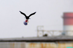 TheCrow'sBigDilemma (mcshots) Tags: california usa bird beach birds trash neck coast losangeles stock flight strangle socal plasticbag crow mcshots twisted