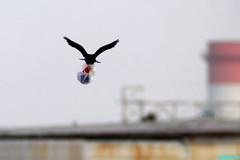 TheCrow'sBigDilemma (mcshots) Tags: california usa bird beach birds trash neck coast losangeles stock flight strangle socal plasticbag crow mcshots twisted