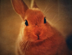 Easter Bunny (Peggy Collins) Tags: orange pet rabbit bunny texture easter warm dwarfrabbit ping easterbunny textured easterrabbit animalportrait warmtones petrabbit texturized animalcloseup peggycollins paulgrandtextures artistictreasurechest rabbitcloseup dwarfdutchrabbit