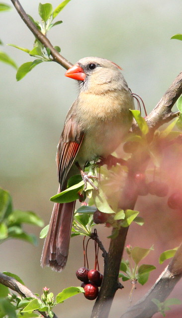 northern cardinal female 02