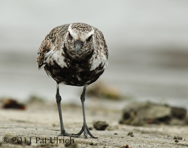 Black-bellied plover in transition plumage by Pat Ulrich Wildlife Photography