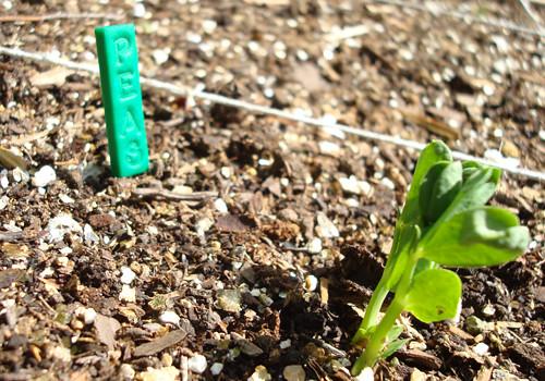 Baby Pea Plants