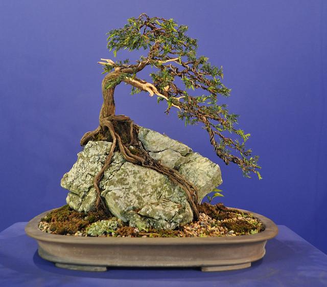 root over rock common juniper bonsai eejit