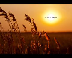 Field of dreams, HCS (Ianmoran1970) Tags: sunset sun field landscape golden crop dreams grasses cliche hcs ianmoran ianmoran1970