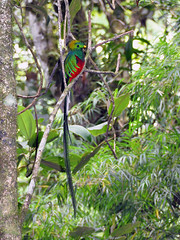 Boquete - Resplendent Quetzal (Drriss & Marrionn) Tags: travel nature birds wildlife panama tropics centralamerica pharomachrusmocinno quetzals taxonomy:class=sauropsida taxonomy:family=trogonidae taxonomy:binomial=pharomachrusmocinno taxonomy:order=trogoniformes allnaturesparadise taxonomy:genus=pharomachrus flickrstruereflection1 taxonomy:infraclass=aves taxonomy:subclass=avialae taxonomy:species=mocinno taxonomy:tribe=trogonini taxonomy:subfamily=trogoninae taxonomy:superorder=trogonomorphae