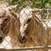 Sisilian Donkeys