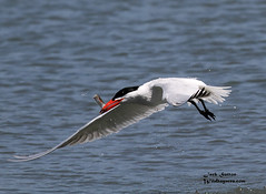 Caspian Tern (jsutton8) Tags: birds birdsinflight bif terns pillarpointharbor birdsfishing caspianterns slbflying dailynaturetnc11