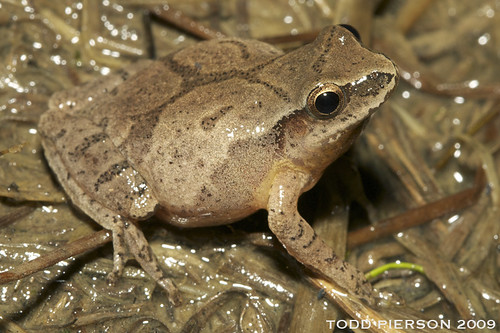 Pseudacris crucifer: Spring Peeper by Todd W Pierson, on Flickr