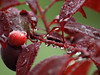 waterlogged (emergrn) Tags: tree wet drops raindrops waterdrops waterlogged redplum