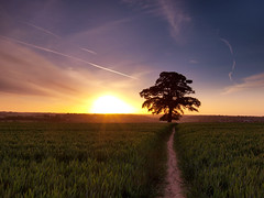 Lone 200 year old oak tree, Chilterns, UK (hozinja) Tags: sunset field oak chilterns hitech 1122 chesham slik e420 perfectsunsetssunrisesandskys