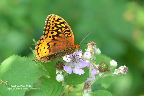 Butterfly on Rubus