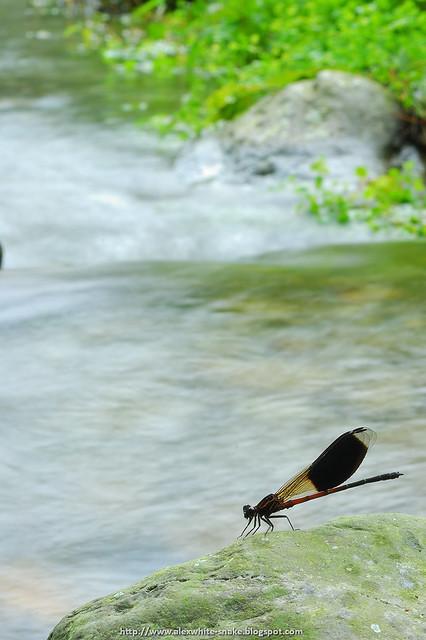 短腹幽蟌 溪瀑版 2