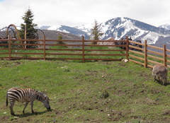 Zebra in Park City