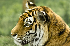 Tiger (L.Y.L.E) Tags: orange white nature animal animals cat scotland stripes wildlife tiger bigcat aviemore cairngorms kingussie tigertiger highlandwildlifepark