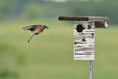 Bluebird Mom DSC_2419