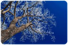 The world of colors (Rein -e- Art) Tags: blue schnee plants white snow tree nature germany deutschland natur blau weiss bume baum genre augsburg kuhsee greatnature hochzoll pflanzenwelt ortestdte wetterniederschlag philipprein reineart
