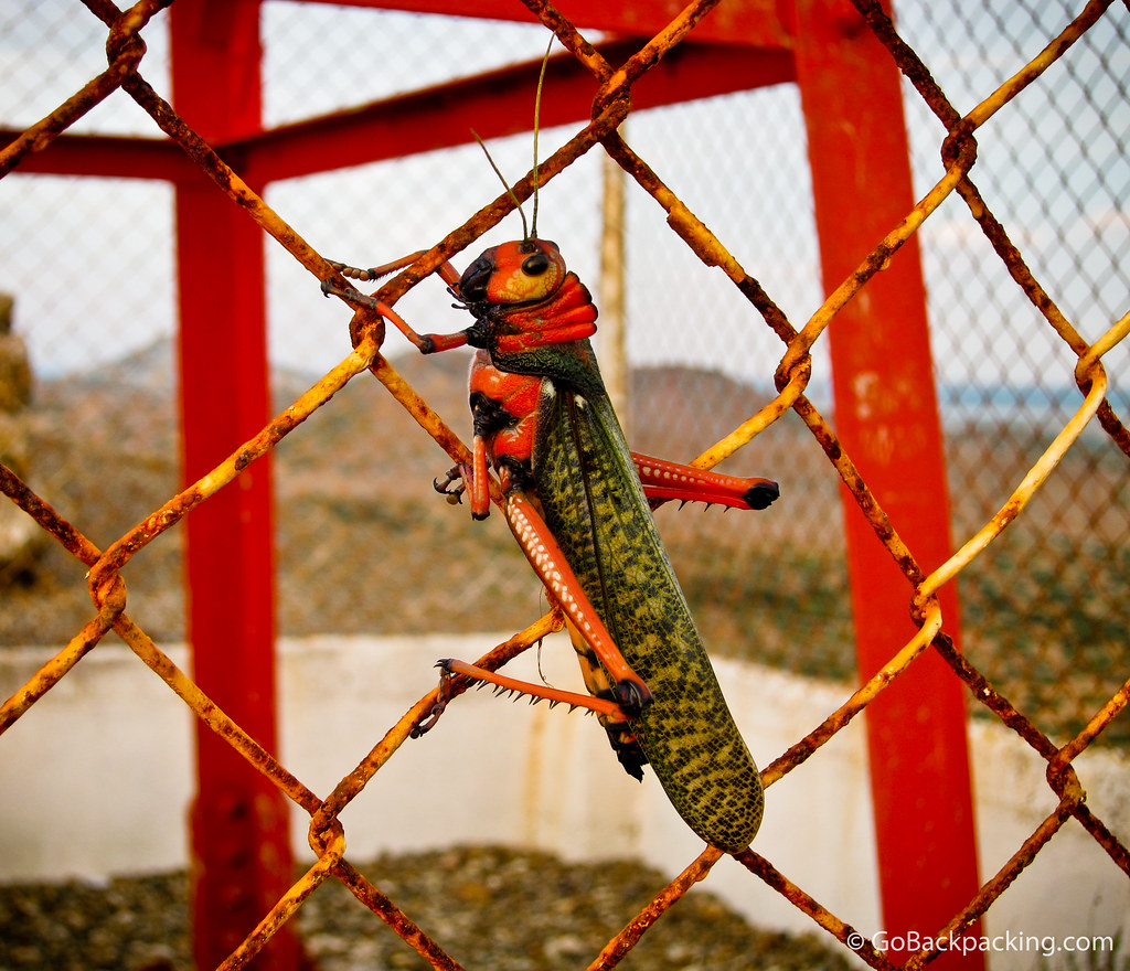 A giant 5-inch red and green grasshopper in La Guajira, Colombia.