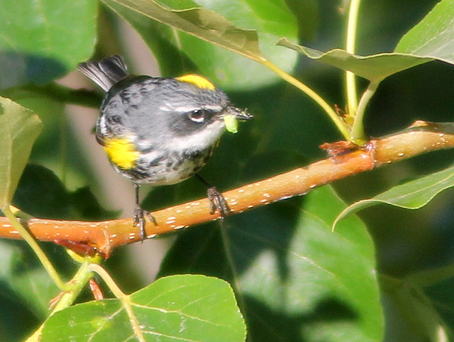 Yellow-rumped Warbler 20110618
