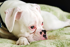Week One: White (Virginia Bailey Photography) Tags: pink dog white green puppy bed paw nap quilt watching boxerdog whiskers sleepy rainier boxer collar browneyes speckled spoiled whiteboxer externalflash virginiabaileyphotography