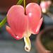 Bleeding Heart - Coeur saignant