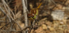 IMG_1723 (gdasko) Tags: mountain dragonfly insects greece wildflowers ymittos