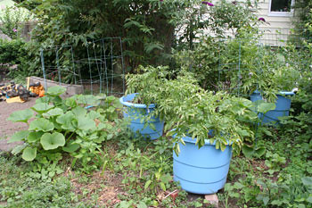 potatoes growing in buckets