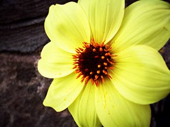 Yellow Dahlia (BlackAndBlueBeauty) Tags: dahlia flower yellow garden montana butte